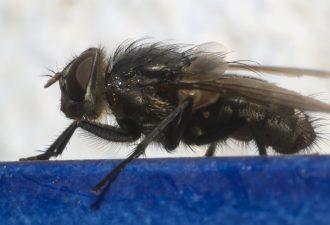 Abortfliege - Schmetterlingsfliege - Schmetterlingsmücke