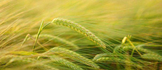 Weizen, die mit einer Wurmschwader gemäht werden könnte