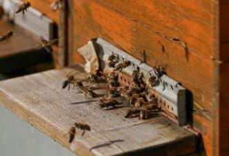 Bienenschwarm anlocken –Alle Methoden und Lockmittel
