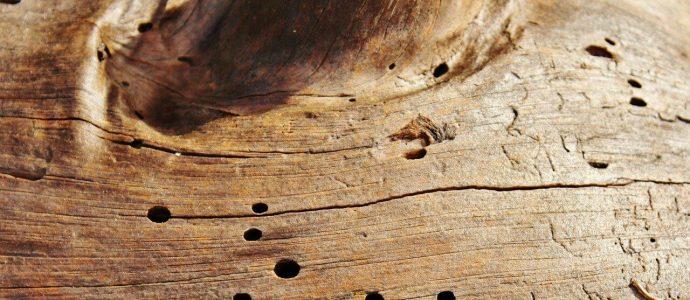 Holz von Würmern befallen, daher braucht man Borsalz